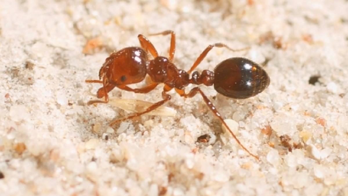 fire ant control brisbane pest nett